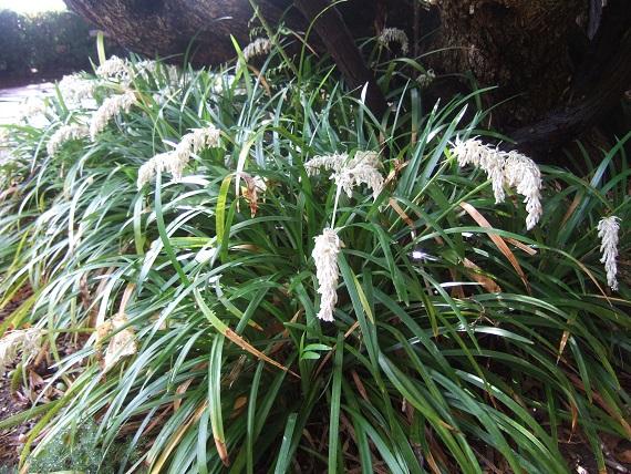 Ophiopogon jaburan  Dscf6847