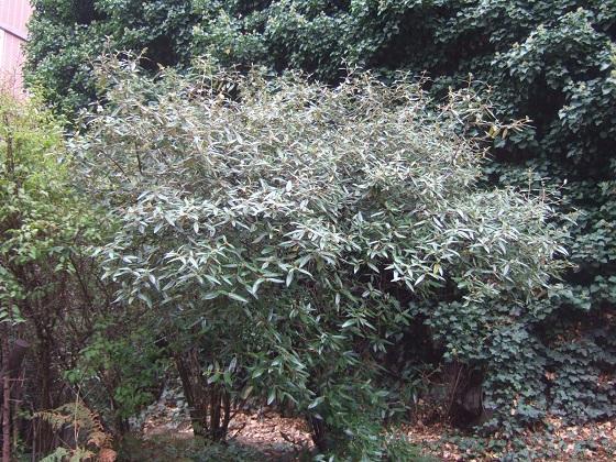 Viburnum x pragense (= Viburnum 'Pragense') - viorne de Prague Dscf6871