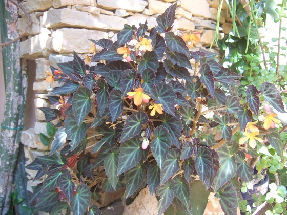 Begonia 'Glowing Embers'  Dscf6889
