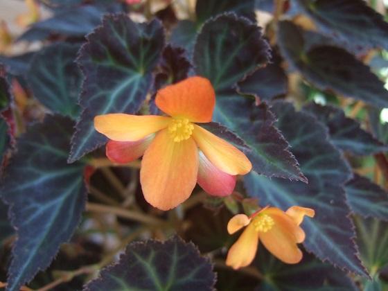 Begonia 'Glowing Embers'  Dscf6890