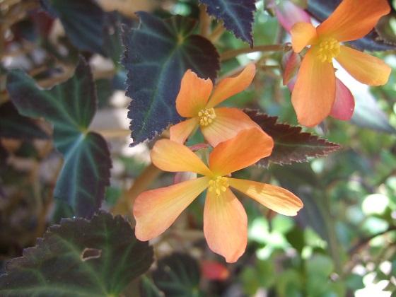 Begonia 'Glowing Embers'  Dscf6891