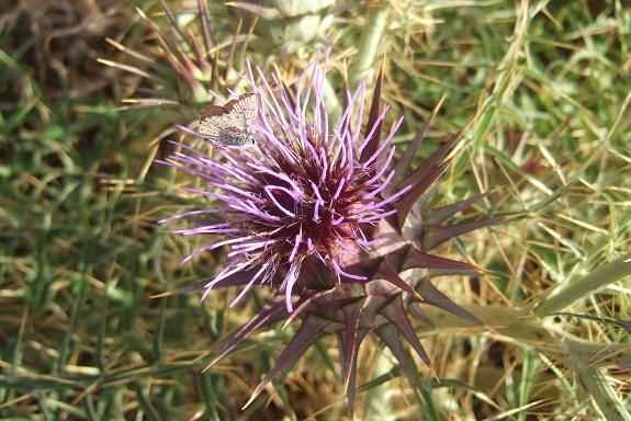 Italie - flore de Sicile - Page 2 Dscf6917