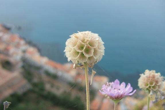 Italie - flore de Sicile - Page 2 Dscf6919