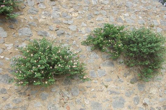 Italie - flore de Sicile - Page 2 Dscf6920