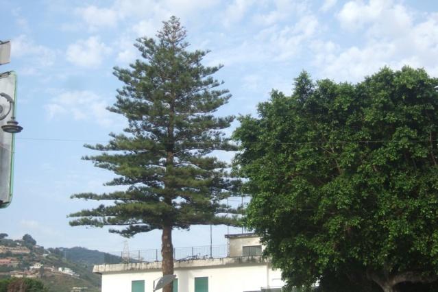Araucaria heterophylla - pin de Norfolk Dscf6927