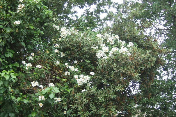 Rosa sempervirens - rosier toujours vert Dscf6928