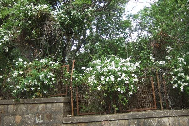 Rosa sempervirens - rosier toujours vert Dscf6929