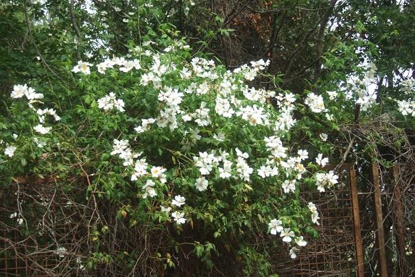 Rosa sempervirens - rosier toujours vert Dscf6930