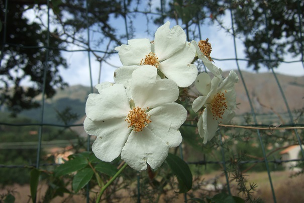 Rosa sempervirens - rosier toujours vert Dscf6931