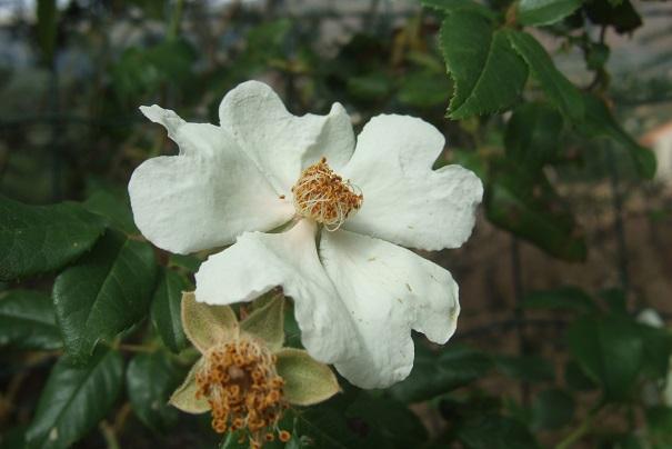 Rosa sempervirens - rosier toujours vert Dscf6932