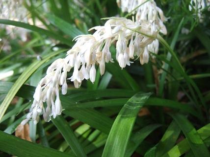 Ophiopogon jaburan  Dscf6935
