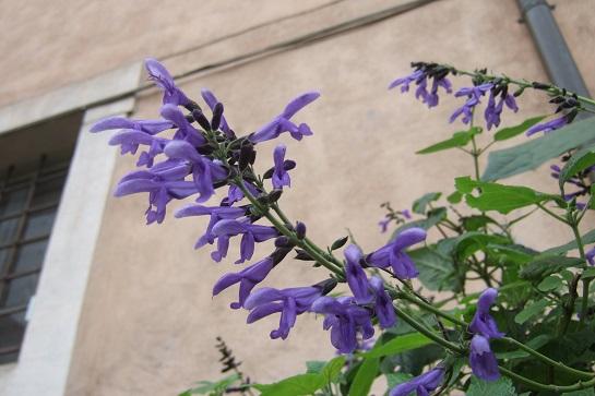 Salvia guaranitica - Page 4 Dscf6944