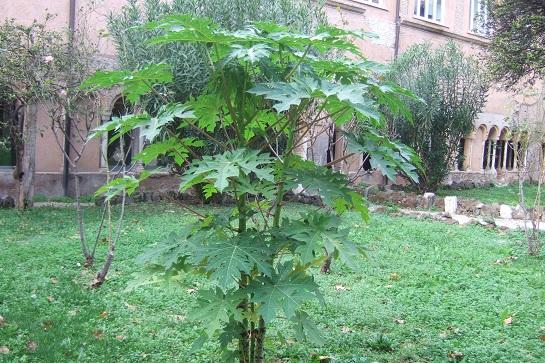 Carica papaya - papayer - Page 4 Dscf6947
