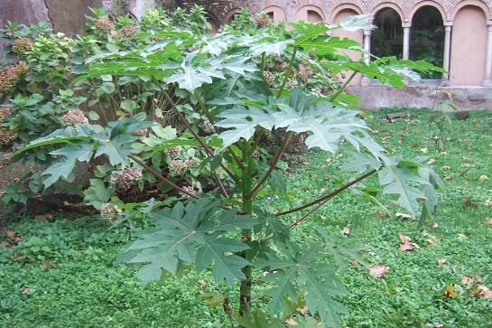 Carica papaya - papayer - Page 4 Dscf6948