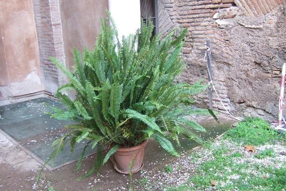 Nephrolepis cordifolia Dscf6950