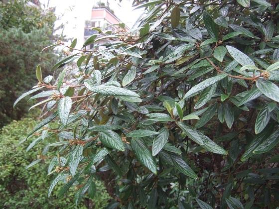 Viburnum x pragense (= Viburnum 'Pragense') - viorne de Prague Dscf6975