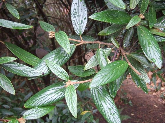 Viburnum x pragense (= Viburnum 'Pragense') - viorne de Prague Dscf6976