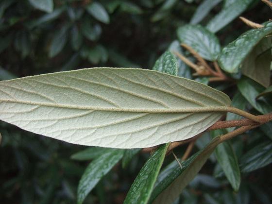 Viburnum x pragense (= Viburnum 'Pragense') - viorne de Prague Dscf6977