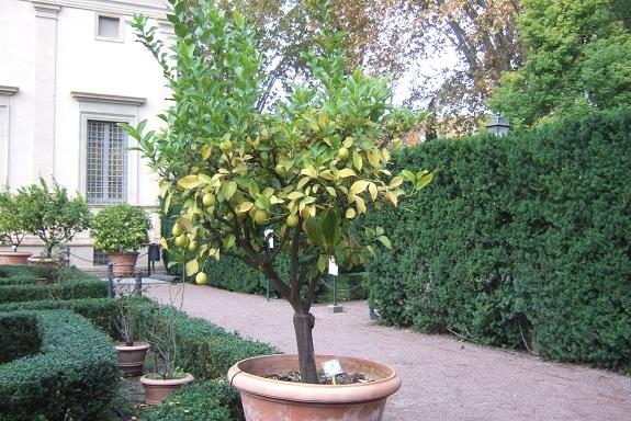 Citrus limon - citronnier des quatre saisons - Page 4 Dscf7017