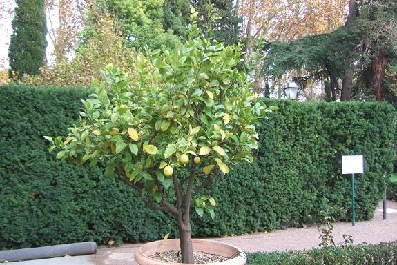 Citrus limon - citronnier des quatre saisons - Page 4 Dscf7018