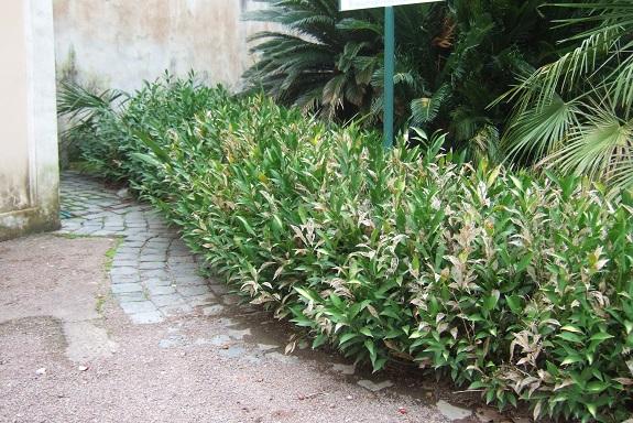 Ruscus hypoglossum - fragon à langues Dscf7026