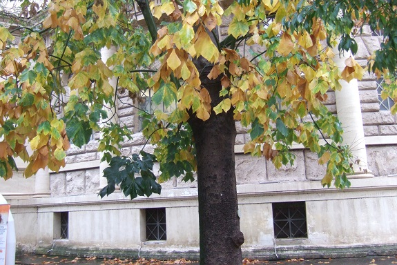 Firmiana simplex - firmiana à feuilles de platane Dscf7029