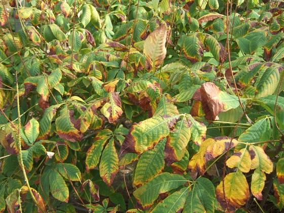 Aesculus parviflora - pavier blanc Dscf7064