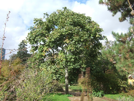 Firmiana simplex - firmiana à feuilles de platane Dscf7070