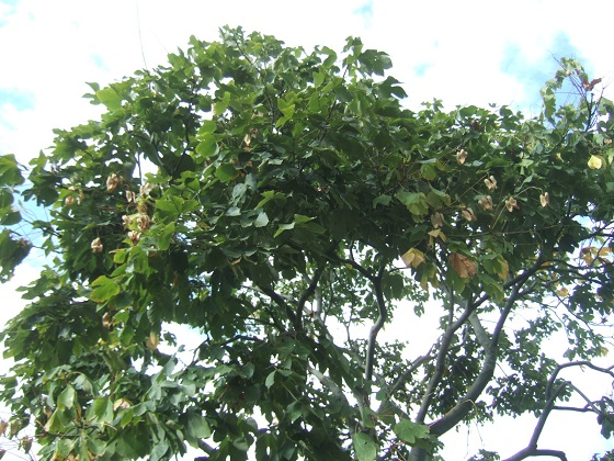 Firmiana simplex - firmiana à feuilles de platane Dscf7071