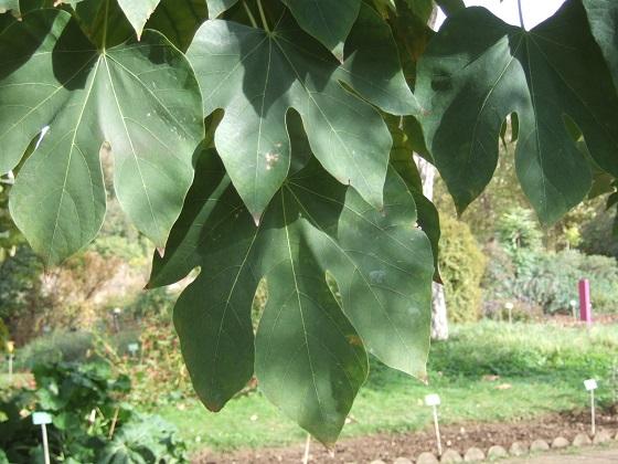 Firmiana simplex - firmiana à feuilles de platane Dscf7072