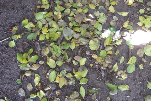 Ilex aquifolium - houx commun  - Page 2 Dscf7120