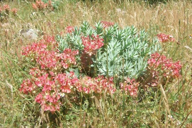 Euphorbia rigida - euphorbe rigide - Page 3 Dscf7128