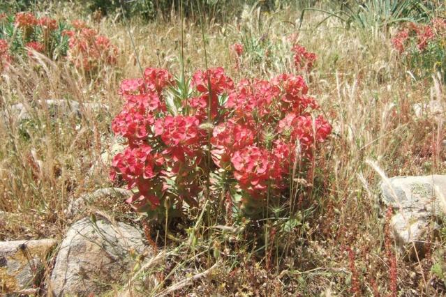 Euphorbia rigida - euphorbe rigide - Page 3 Dscf7130