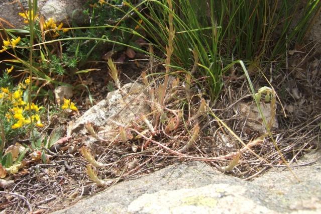 Sedum amplexicaule - orpin à feuilles embrasantes Dscf7133