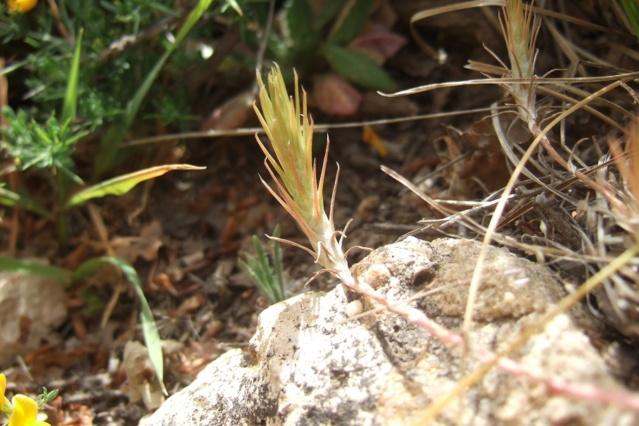 Sedum amplexicaule - orpin à feuilles embrasantes Dscf7134