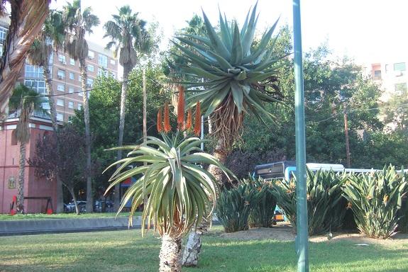 Aloe ferox Dscf7140