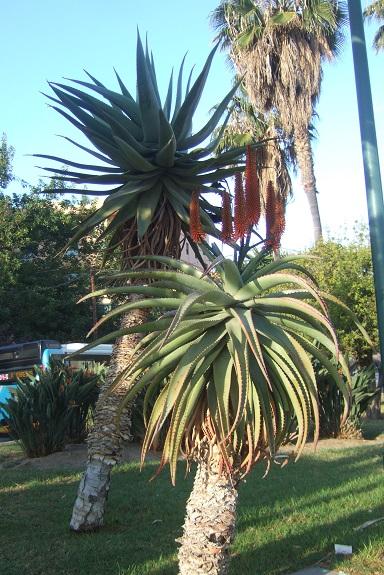 Aloe ferox Dscf7141