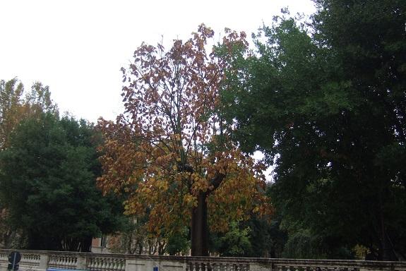 Firmiana simplex - firmiana à feuilles de platane Dscf7146