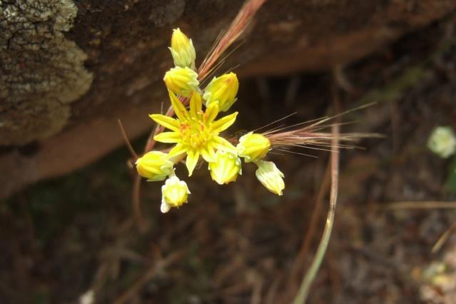 Sedum amplexicaule - orpin à feuilles embrasantes Dscf7219