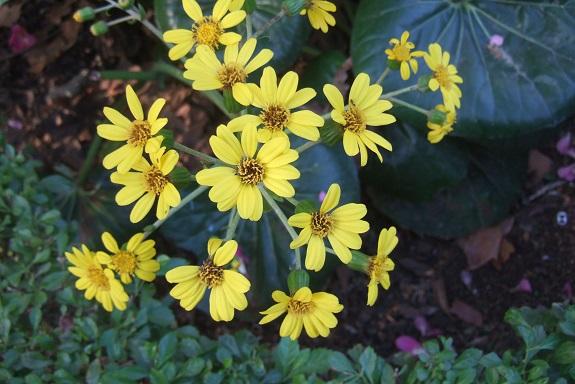 Farfugium japonicum = Ligularia kaempferi - Page 4 Dscf7225