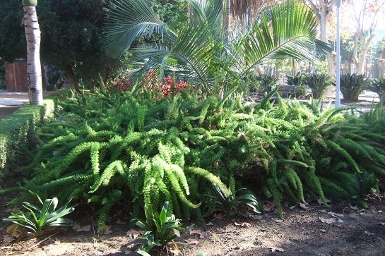 Asparagus densiflorus 'Meyersii' Dscf7238
