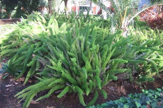 Asparagus densiflorus 'Meyersii' Dscf7239