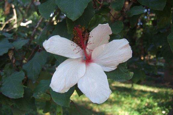 Hibiscus arnottianus - hibiscus parfumé Dscf7245