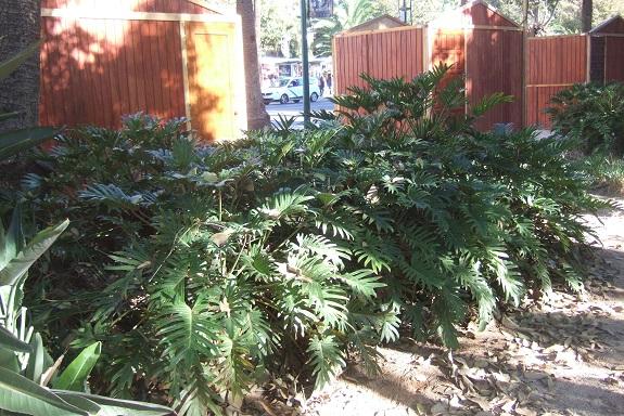 Philodendron 'Xanadu' - Page 2 Dscf7249