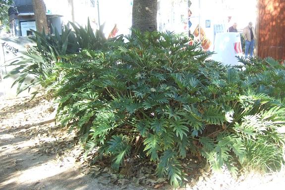 Philodendron 'Xanadu' - Page 2 Dscf7250