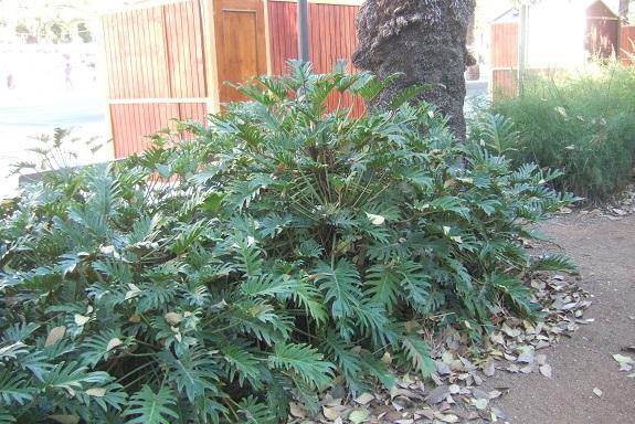 Philodendron 'Xanadu' - Page 2 Dscf7251
