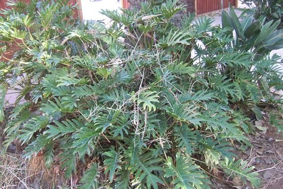 Philodendron 'Xanadu' - Page 2 Dscf7252