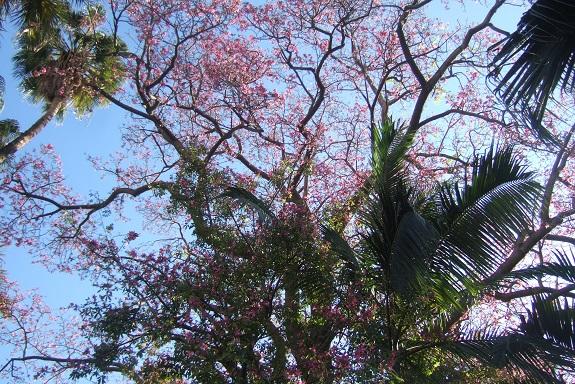 Ceiba speciosa (= Chorisia speciosa) - Page 3 Dscf7257