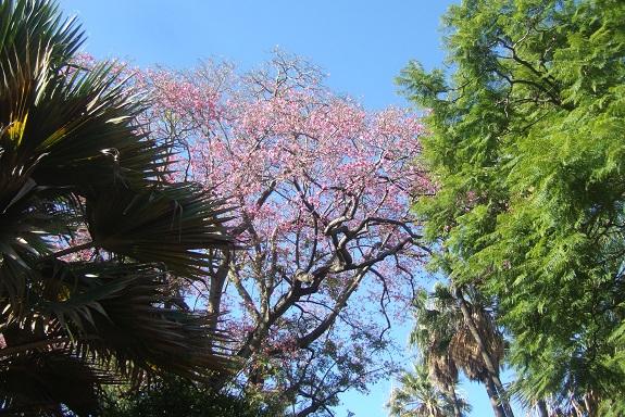 Ceiba speciosa (= Chorisia speciosa) - Page 3 Dscf7258