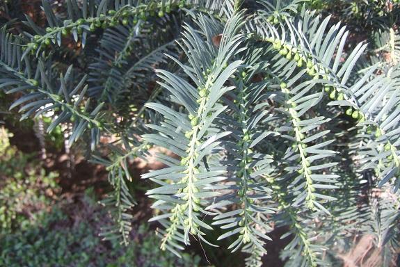 Cephalotaxus harringtonii - if du Japon Dscf7264